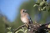 Eurasian Jay (Garrulus glandarius) on a branch, Lorraine, France
