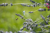 Cabbage butterfly (Pieris rapae) female and Honey bee (Apis mellifera)in flight, Lorraine, France