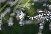 Cabbage butterfly (Pieris rapae) female in flight, Lorraine, France