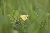 Pale Clouded Yellow (Colias hyale) male, Lorraine, France