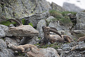 Alpine Ibex (Capra ibex) male scratching with horns, Mercantour National Park, Alps, France