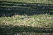 Chat forestier (Felis silvestris) dans un pré fauché, Lorraine, France