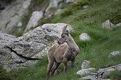 Alpine Ibex (Capra ibex) female, Mercantour National Park, Alps, France