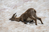 Alpine ibex (Capra ibex) female wallowing in the snow to cool off, Mercantour National Park, France