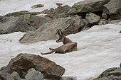 Alpine Chamois (Rupicapra rupicapra) lying in snow, Mercantour National Park, Alps, France