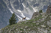 Alpine Chamois (Rupicapra rupicapra) on rock, Mercantour National Park, Alps, France