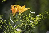Orange lily (Lilium crocreum) flowers, Mercantour National Park, France
