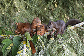 Red squirrel (Sciurus vulgaris) litter squirrel on a branch, Lorraine, France