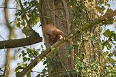 Red squirrel (Sciurus vulgaris) grooming on a branch, Lorraine, France
