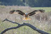 Red Kite (Milvus milvus) landing on a trunk, Lorraine, France