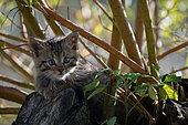 Chat forestier (Felis silvestris), chaton dans un arbre, Lorraine, France