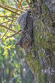 Chat forestier (Felis silvestris) chaton escaladant un tronc, Lorraine, France