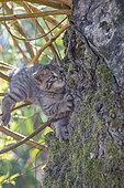 Chat forestier (Felis silvestris) chaton escaladant maladroitement un tronc, Lorraine, France