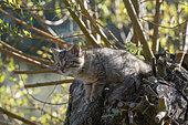 Wildcat (Felis silvestris), kitten in a tree, Lorraine, France