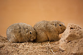 Yellow steppe lemming (Eolagurus luteus) A pair of Yellow steppe lemming tired of activity and decided to relax, cuddling up to each other Original country: semi-deserts of Kazakhstan