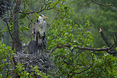 Grey heron Ardea cinerea Grey herons in nest with younger chicks waiting out the rain, Moscow region, Lipetsk region, Russia