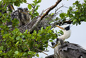 Grey heron Ardea cinerea Grey herons with neighbouring nests in colonies of herons fighting amongst themselves Place: Russia, Moscow region, Lipetsk region