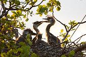 Grey heron Ardea cinerea Grey herons chicks in nest, Moscow region, Lipetsk region, Russia