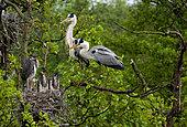 Grey heron Ardea cinerea Grey herons in nest with younger chicks, Moscow region, Lipetsk region, Russia