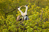Grey heron (Ardea cinerea) A pair of grey herons on a nest in the Heron colony with small chickens have a good time in the rays of the rising sun Place: Russia, Moscow region, Lipetsk region