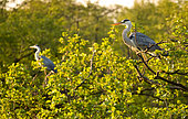 Grey heron Ardea cinerea Grey herons on a branch in the Heron colony have a good time in the rays of the rising sun Place: Russia, Moscow region, Lipetsk region