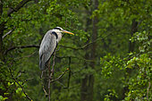 Grey heron Ardea cinerea The gray Heron sits in the thick of the leaves of black alder and waits for the end of the downpour. Drops are collected in a large drop on the tip of the gray Heron key, Moscow region, Lipetsk region, Russia