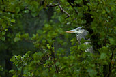 Grey heron Ardea cinerea The gray Heron sits in the thick of the leaves of black alder and waits for the end of the downpour, Moscow region, Lipetsk region, Russia