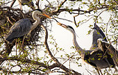 Grey heron (Ardea cinerea) A pair of gray herons on the nest. The male brought a branch and passes it to the female. It will weave a branch into the base of the nest, Moscow region, Lipetsk region, Russia