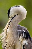 Grey heron Ardea cinerea Portrait of a grey Heron that cleans feathers, Moscow region, Lipetsk region, Russia