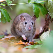 Grey rat Rattus norvegicus The gray rat froze, and his nose sniffing the air, assesses the level of risk going forward Place: Russia, Moscow region, Moscow, The main Botanical garden. N. V. Tsitsin RAS