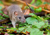 Grey rat (Rattus norvegicus) Gray rat explores the area in search of food, Moscow, The main Botanical garden. N. V. Tsitsin RAS, Moscow region, Russia