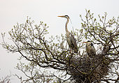 Grey heron Ardea cinerea A pair of grey herons sitting in their newly constructed nest in colonies of herons. Place: Russia, Moscow region, Lipetsk region
