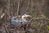Grey heron (Ardea cinerea) Gray Heron in a nest in the middle of a colony of herons hatches eggs, Moscow region, Lipetsk, Russia