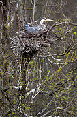 Grey heron Ardea cinerea Gray Heron in a nest in the middle of a colony of herons hatches eggs Place: Russia, Moscow region, Lipetsk region