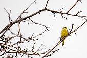 European greenfinch (Carduelis chloris) sitting on a branch, Moscow region, Lipetsk region, Russia