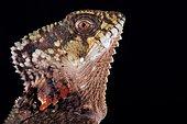 Helmeted iguana (Corytophanes cristatus)
