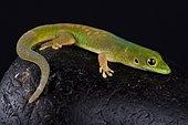 Pasteur's day gecko (Phelsuma pasteuri)