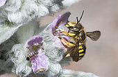 Cotton Bee (Anthidium manicatum) on Woolly hedgenettle (Stachys byzantina), Regional Natural Park of Northern Vosges, France