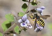 Cotton bee (Anthidium oblongatum) male on Woodland calamint (Calamintha sylvatica), Mont Ventoux Biosphere reserve, France