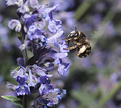 Fork-tailed Flower-bee (Anthophora furcata) female on Catmint (Nepeta cataria), Regional Natural Park of Northern Vosges, France