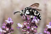 Cuckoo Bee (Thyreus histrionicus) female grooming on Thyme, Mont Ventoux Biosphere reserve, France