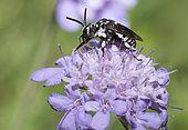 Cuckoo Bee (Thyreus ramosus) on Scabieusia (Scabiosa sp), Mont Ventoux Biosphere reserve, France