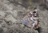 Striped Grayling (Hipparchia fidia), Mont Ventoux Biosphere reserve, France
