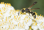 Eumenid wasp (Odynerus spinipes) on Milfoil (Achillea millefolium), Regional Natural Park of Northern Vosges, France