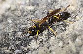 Black and yellow mud dauber (Sceliphron caementarium), Mont Ventoux Biosphere reserve, France
