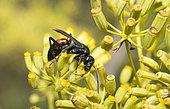 Spider wasp (Agenioideus usurarius) on Shrubby Hare's Ear|(Bupleurum fruticosum), Mont Ventoux Biosphere reserve, France