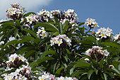 White Plumeria (Plumeria alba) flowers, Reunion Island