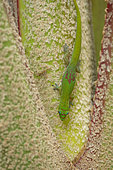 Gold Dust Day Gecko (Phelsuma laticauda), Reunion Island