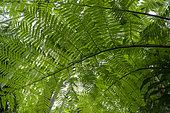 Tree fern (Cyathea glauca), Reunion island