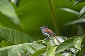 Mascarene paradise flycatcher (Terpsiphone bourbonnensis) female on a leaf, Reunion Island